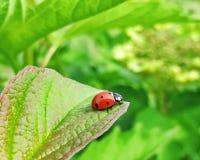 Ladybug on a leaf of viburnum. Sunny days royalty free stock image