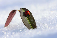 Ladybug on a leaf in a winter sunny day Royalty Free Stock Image