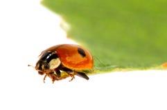 Ladybug σε ένα leafle Στοκ Εικόνα