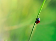 Ladybug in the leafs of corn Royalty Free Stock Image