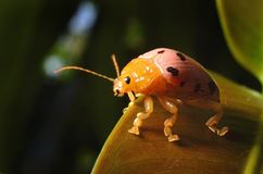 Ladybug on leaves in nature. Stock Photos