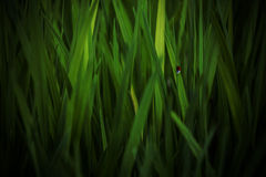 Ladybug leaves straw grass nature Royalty Free Stock Photos