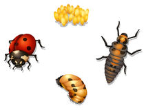Ladybug life cycle stock illustration