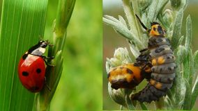 Stages of the ladybug life cycle. The ladybug life cycle is not much different from the life cycle of a butterfly. The ladybug goes through the same four stages royalty free stock image