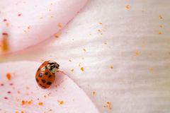 Ladybug on Lily Royalty Free Stock Photography