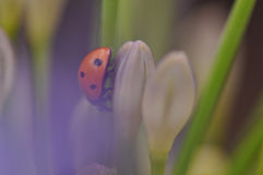 Ladybug on Lily buds. Macro detail of ladybug on Lily of the Nile flower royalty free stock photography