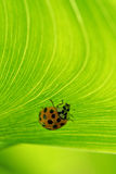Ladybug on lined foliage Stock Photos