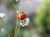 Ladybug. On little white flower Stock Photography