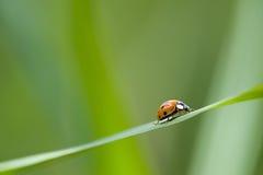 Ladybug. Lonely ladybug on a green blury background Stock Image