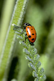 Ladybug on long leaf Stock Photography