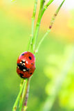 Ladybug. Love between ladybug in spring royalty free stock image