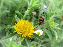 Ladybug love Stock Photography