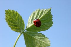 Ladybug luck, climbing on a leaf. Stock Photos