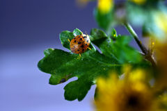 Ladybug. A ladybug lying in the leaves of greed when eating Stock Images