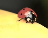 Ladybug macro Royalty Free Stock Images