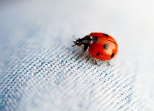 Ladybug Macro. Macro of a spotted ladybug or ladybird on jean pants with a narrow depth of field Royalty Free Stock Photos