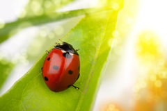 Ladybug macro royalty free stock photos