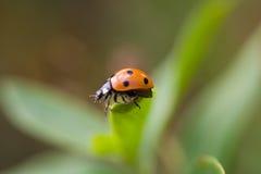Ladybug macro Stock Images