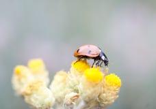 Ladybug macro Stock Photos