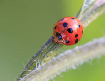 Ladybug macro Royalty Free Stock Image