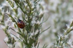 Ladybug Macro Royalty Free Stock Photos
