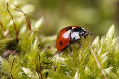 Ladybug macro on a fluffy moss spring. Stock Images