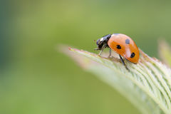 Ladybug macro on green background Stock Photo