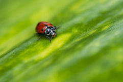 Ladybug macro on green leaf Royalty Free Stock Photos