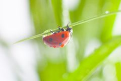Ladybug. Macro of the nature stock photo