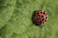 Ladybug. Macro photography, a beetle on a leaf royalty free stock photography