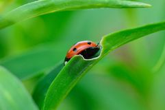 Ladybug Royalty Free Stock Images