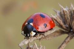 Ladybug macro que sienta en las flores viejas Imagen de archivo