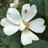 ladybug on magnolia flower Stock Photo