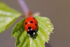 Ladybug manchado sete (septempunctata de Coccinella) Imagens de Stock
