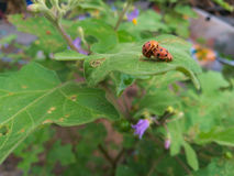 Ladybug. Mating on a leaves of the eggplant Stock Photos