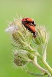 Ladybug mating Stock Photo