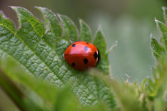 Ladybug mating in the nature Stock Images