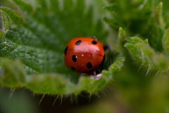 Ladybug mating in the nature Stock Photos