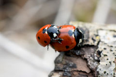 Ladybug mating in the nature Royalty Free Stock Photos