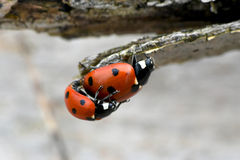 Ladybug mating in the nature Stock Photo
