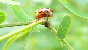 Ladybug on leaves in tropical rain forest. Ladybug Micraspis discolor is natural enemies of insect pest on leaves in tropical rain forest stock video footage