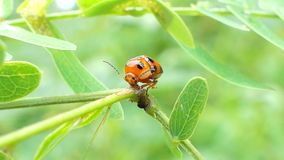 Ladybug on leaves in tropical rain forest. Ladybug Micraspis discolor is natural enemies of insect pest on leaves in tropical rain forest stock video