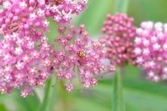 Ladybug on Milkweed, Asclepias incarnata. Asclepias incarnata, commonly known as Milkweed, and a ladybug feeding on the nectar-rich flowers Stock Images