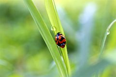 Ladybug on morning dew royalty free stock photography
