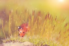 Ladybug in the moss forest Royalty Free Stock Images