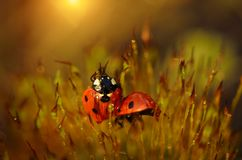 Ladybug in the moss forest Stock Image