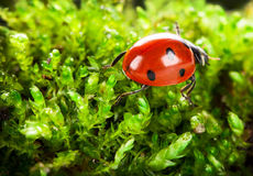 Ladybug on moss Royalty Free Stock Photo