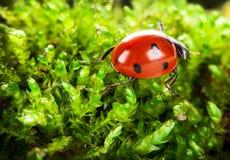 Ladybug on moss Royalty Free Stock Photo