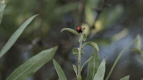 Ladybug in a mountain nature green trees plant, flower, animal. Ladybug in a mountain nature flora, yellow, graphic, colorful, eco, fossil natural growing stock video footage