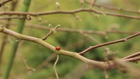 Ladybug moves along the branches and buds of the Magnolia tree in the spring HD stock video footage